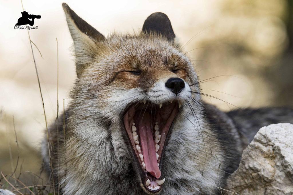 Raposo bostezando