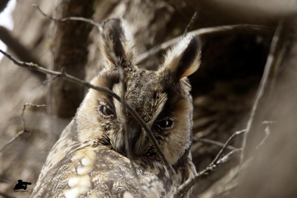 Habita en bosques de coníferas cerca de zonas de cultivos, en ocasiones en la alta montaña.