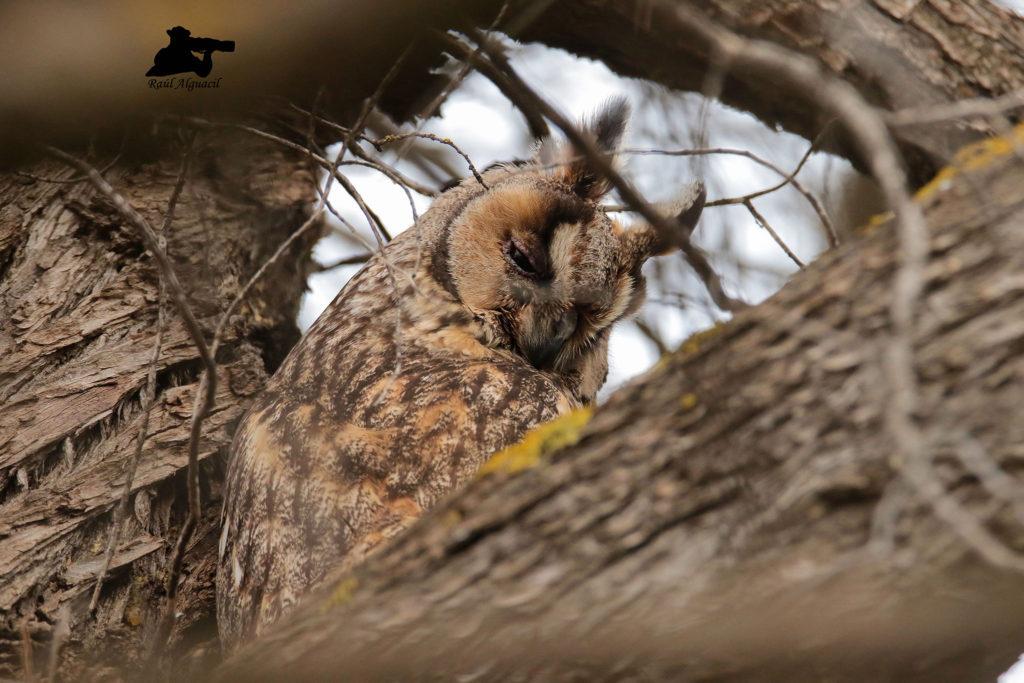 Es de hábitos estrictamente nocturnos, suele habitar cerca de zonas de cultivo, es muy similar al búho campestre, se caracteriza por sus mechones que parecen orejas y sus cejas inclinadas blancas, se alimenta de roedores y aves. Longitud: de 35 a 37 cm Envergadura: de 84 a 95 cm Peso: 210-330 g Longevidad: de 10 a 15 años